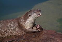Eating otter Stock Image