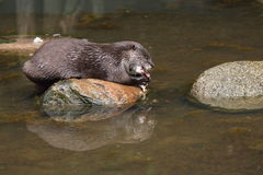 Eating otter Stock Image