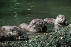 Eating otters. Three otters having lunch Royalty Free Stock Images