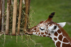 Eating out of a basket. A photo of a Giraffe royalty free stock photo