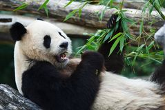 Eating panda. Panda in the middle of a meal Royalty Free Stock Photos