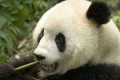 Eating  panda Royalty Free Stock Images