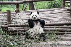 Eating panda (Giant Panda) Royalty Free Stock Photos