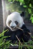 Eating panda Royalty Free Stock Photos