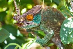 Eating Parsons chameleon Stock Images