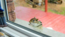 While eating peanuts, A curious Eastern chipmunk peers through my window from the sill outside. Stock Photo