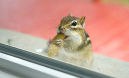 While eating peanuts, A curious Eastern chipmunk peers through my window from the sill outside. Royalty Free Stock Photography