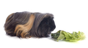 Eating Peruvian Guinea Pig Stock Photography