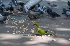 Eating pigeons and parrot Royalty Free Stock Photos