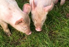Eating Piglets. Close up of two eating piglets in the grass on a biological farm Stock Photos