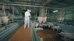 Pig farmer checking pigs at farm. Eating piglets are being observed by the farm employee