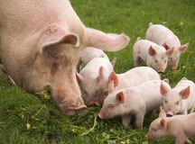 Eating Pigs. Biological sow showing her piglets how to eat the tasty clover in a meadow Royalty Free Stock Photography