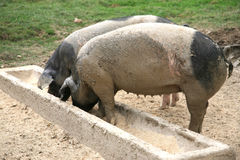 Eating pigs. Two dirty pigs eating from the trough Royalty Free Stock Photo
