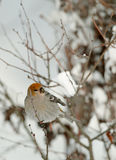 Eating  Pine Grosbeak (female) Stock Photo