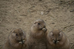 Eating prairie dogs Stock Photography