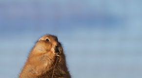 Eating Prarie dog Stock Photography