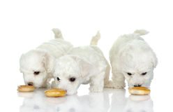 Eating puppies. Isolated on white background Royalty Free Stock Photography