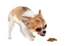 Eating puppy chihuahua royalty free stock image