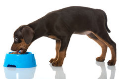Eating puppy Stock Image