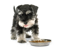 Eating puppy miniature schnauzer royalty free stock photos