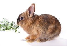 Eating rabbit Royalty Free Stock Photography
