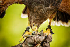 Eating raptor bild Royalty Free Stock Photography