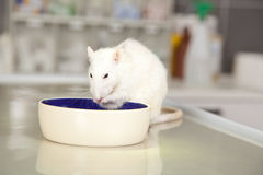 Eating rat on operating table at veterinarian. A domestic rat sitting on an operating table at a veterinarian and eating something Royalty Free Stock Photos