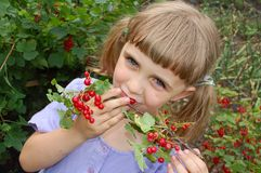 Eating red currant. 5 year old girl eating red currant right from the bush royalty free stock photos