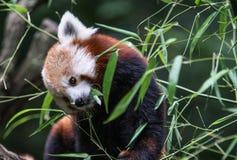 Eating Red Panda Stock Images