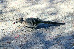 Eating red seeds in the sabino canyon is a roadrunner stock image