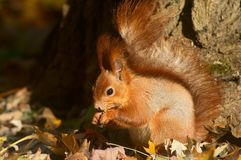 Eating red squirrel Royalty Free Stock Photos