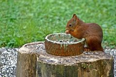 Eating red squirrel Stock Photo