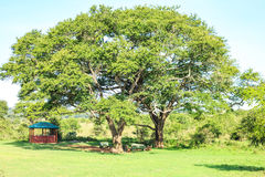 Eating and resting place under a huge african tree. Nairobi National Park, Kenya Royalty Free Stock Photos