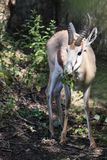 Eating rhim gazelle Royalty Free Stock Photos