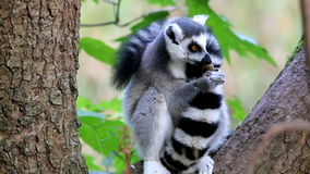 Eating Ring-tailed Lemur Royalty Free Stock Photos