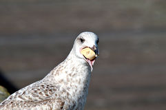 Eating sea gull. Sea gull is eating a piece of bread Stock Image