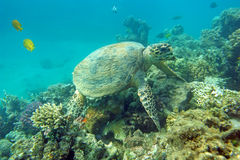 Eating sea turtle. Sea turtle eating coral in the natural environment Royalty Free Stock Images