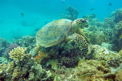 Eating sea turtle. Sea turtle eating coral in the natural environment Stock Images