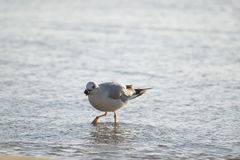 Eating seagull in the sea Royalty Free Stock Photo