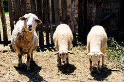 Eating sheep Stock Photos