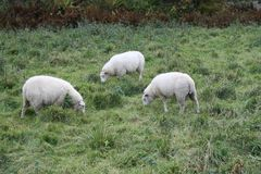 Eating sheeps Royalty Free Stock Images