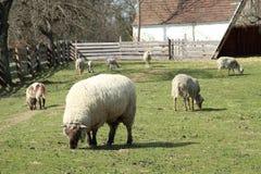 Eating sheeps. Sheeps feeding on a grass on a farm Stock Photos