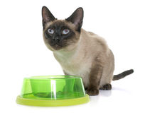 Eating siamese cat Stock Image