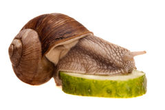 Eating snail in profile Royalty Free Stock Photo