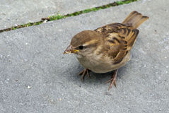 Eating sparrow. Sparrow on ground with food hanging out of his mouth Stock Photography