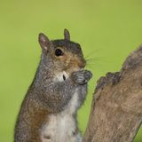 Eating squirrel Stock Images