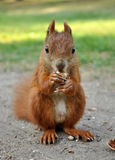 Eating Squirrel. European Red Squirrel Eating a nut Stock Photos