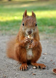 Eating Squirrel Royalty Free Stock Photography