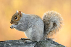 Eating squirrel. The squirrel sits and eats a nut close up Royalty Free Stock Photos