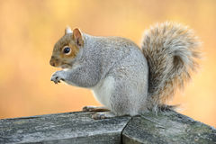 Eating squirrel. Squirrel sits and eats, close up Royalty Free Stock Photos